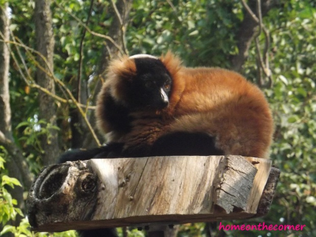 red furred lemur