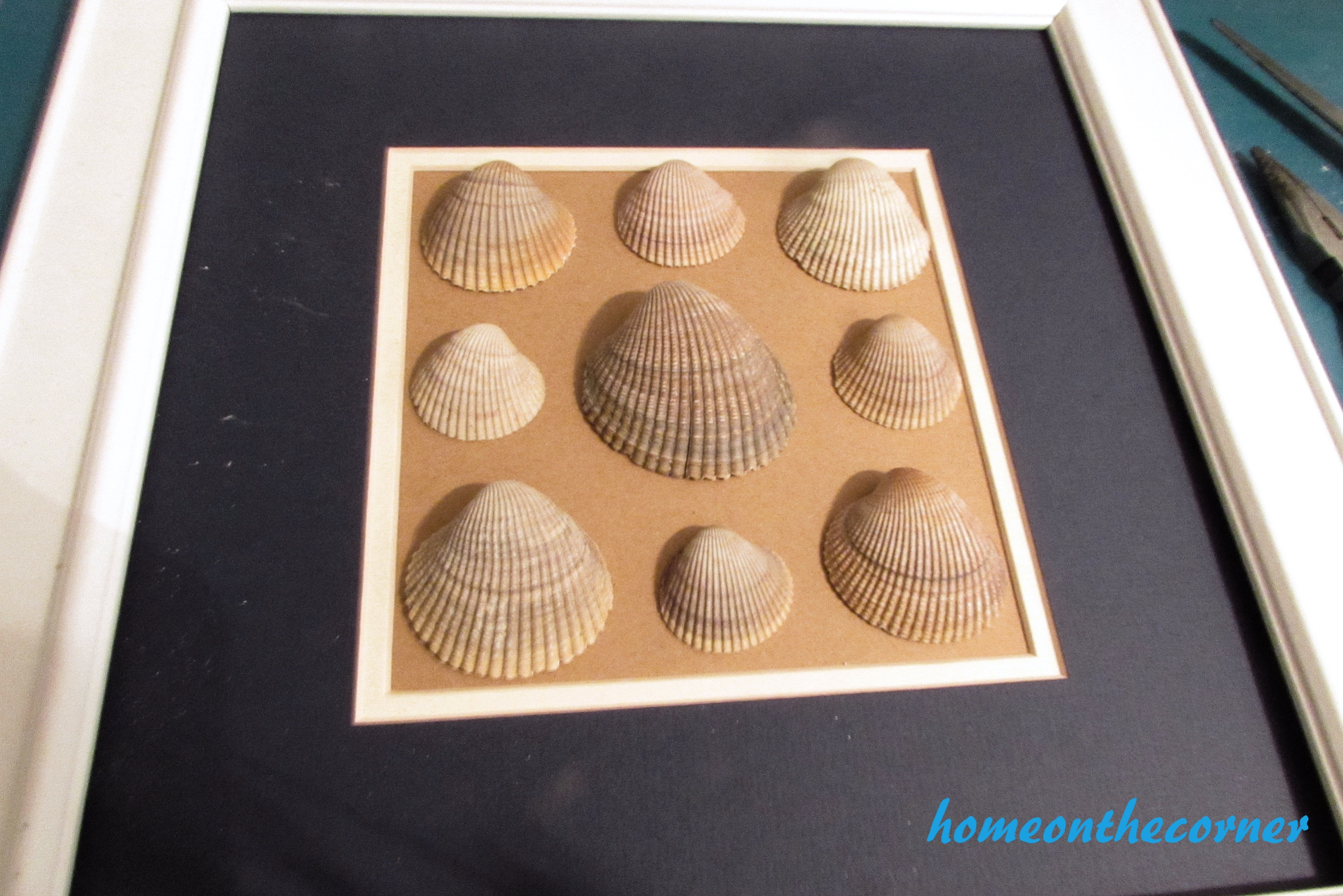 seashell specimen frame clam shells