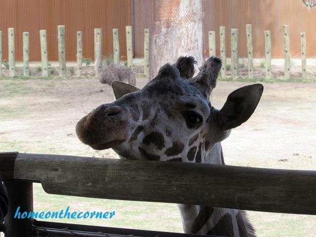 zoo trip 2016 giraffe 2