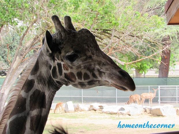 zoo trip giraffe