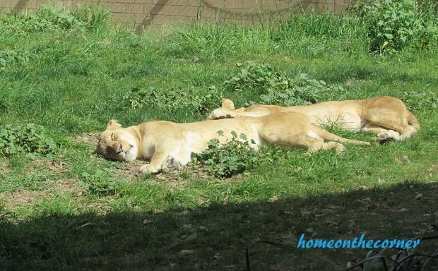 zoo trip lions