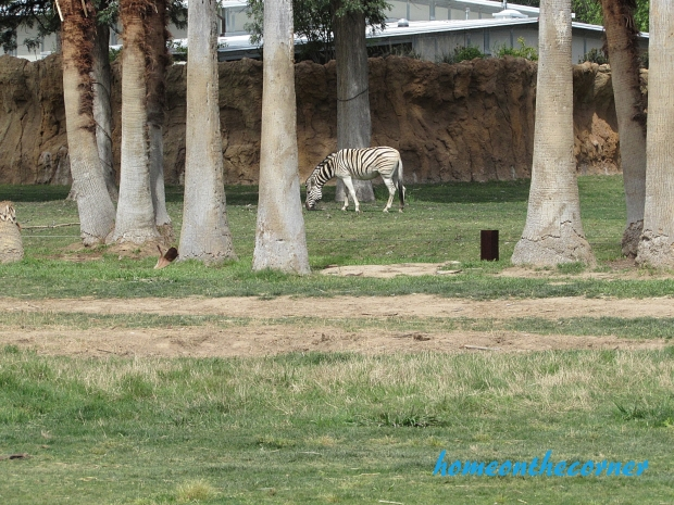 zoo trip zebra