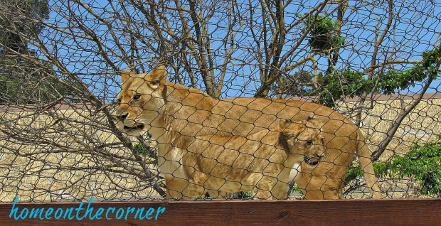 zoo 2017 Lioness and cub